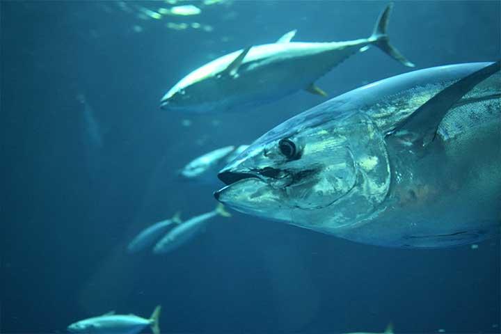 魚を食べるビーガン、シーガンとは何か